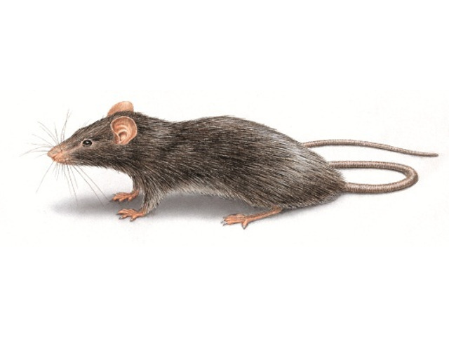 Be Worry-Free of Rats with Pest Control Perth - 1
