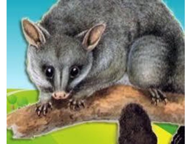 Possum Removal Sunshine Coast - 1