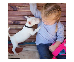 Wbvghf amazing Bull Terrier Puppies for Xmas $500