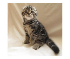 Scothish Fold kittens  schoepfernickolai11@gmail.com available for Xmas