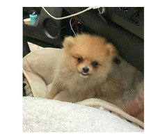 cute Pomeranian Puppies ready for sale