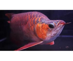 Buy Arowana fish,Blue Arowana,Red Arowana,Parrot Cichlid,Flower Horn,Golden Basslet,Aquarium Fishes,