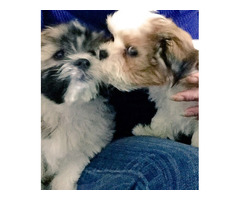 Shih Tzsu Maltese Pupies Boys