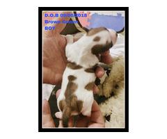 Shih Tzsu Maltese Pupies Boys