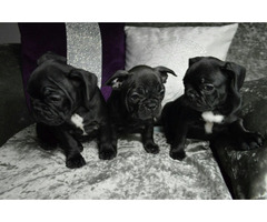 PureBred French Bulldogs Puppies For Sale..