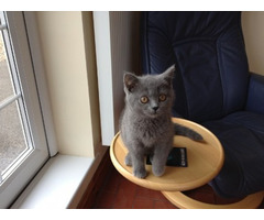 **Ready Now**Gorgeous British Shorthair Kittens Ready