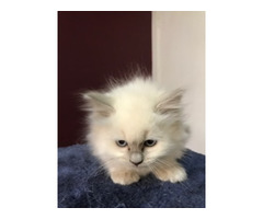 RAGDOLL KITTENS - PAPERED- FEMALE