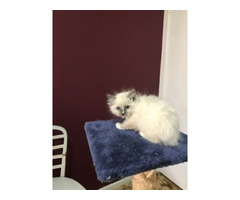 RAGDOLL PEDIGREE - BLUE - MALE