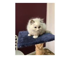 RAGDOLL  - PEDIGREE - BLUE - FEMALE