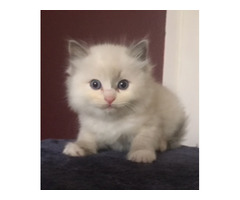 RAGDOLL KITTEN - BLUE - NO PAPERS