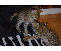 stunning servals and bengal kittens