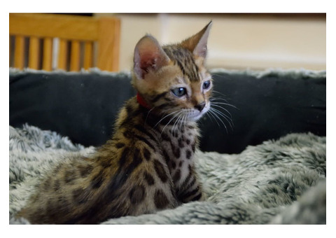 Bengal Cats For Sale Qld