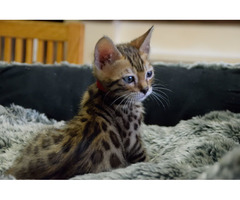 Stunning Tica Registered bengal  and serval cats