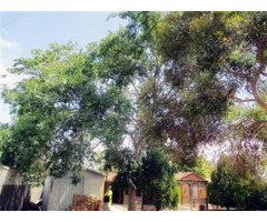 Get Tree Lopping Services with our Tree Surgeon in Adelaide