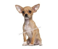Beautiful Chihuahua Male and Female Puppies for Sale in AUSTRALIA