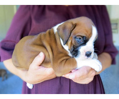 Reg Boxer Puppies for sale male and female