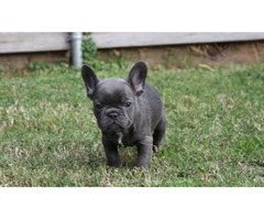 Stunning AKC REG Blue Boys & Girls French Bulldog For Sale