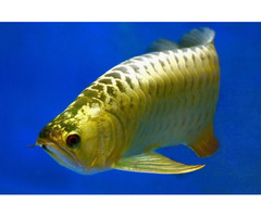 Best Asian Arowana available for sale