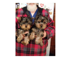 Kc registered Yorkie puppies available for rehoming