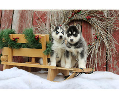 3 Beautiful Siberian Husky Pups Left !!!