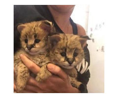 awesome 2017 exotic savannah, servals and caracal kittens