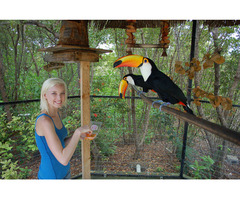 ❤❤❤❤❤❤Pair Toco Toucans birds asking price $2000 AUD