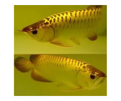 Buy Quality Red Arowana. Super Red Tail Golden,  Red Tail Golden