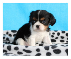 Male/Female Cavalier King Charles Spaniel Puppies
