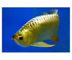 Super red arowana fish and many others available