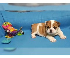 Healthy English Bulldog puppies up for adoption.