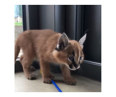 Kitten caracal in adoption