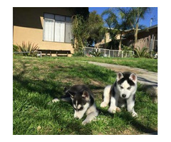 Super tamed siberian husky puppies for sale now