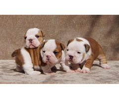 miniature bulldog puppies for sale now