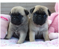 black and fawn pug puppie for sale
