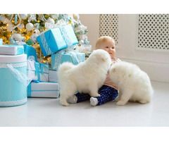 intelligent white male and female samoyed puppies for sale now ready