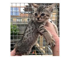 Savannah F5 Kittens