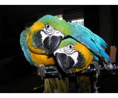 Lovely blue and gold macaw parrots !