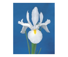 Dutch Iris Bulbs Australia