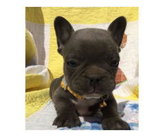 British bulldog puppies for sale in Australia