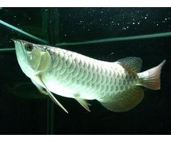 *** Arowana Fish, Candy Basslet Fish for Sale ***