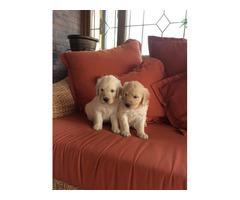 Beautiful Golden Retriever Puppies(915) 267-2813