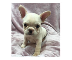 Buy British bulldog puppies in Australia