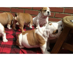 **ready Now**english Bulldog Puppies